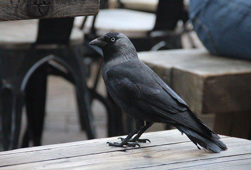 corvo preto haarlem holanda