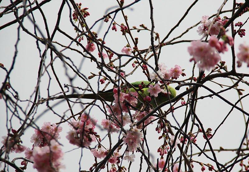 papagaio comendo flor de cerejeira londres