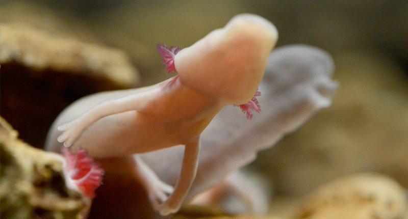 proteus peixe humano caverna postojna