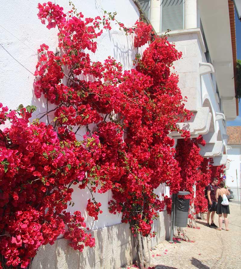 parede de bougainville em cascais flores vermelhas trepadeira