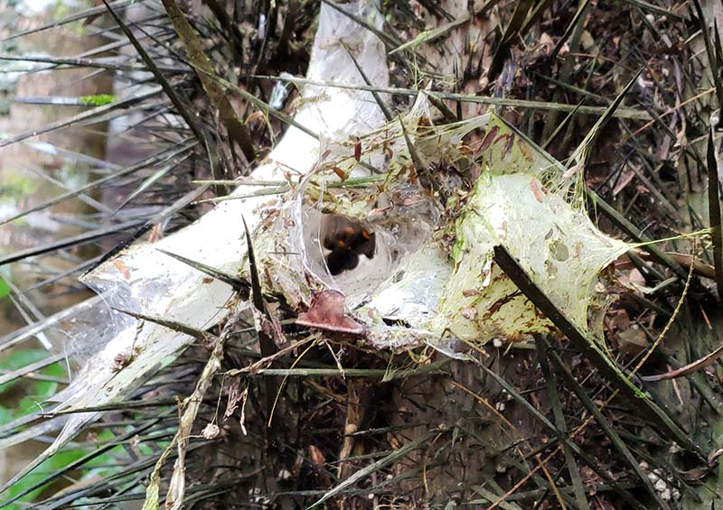 Ninho de tarântula em árvore