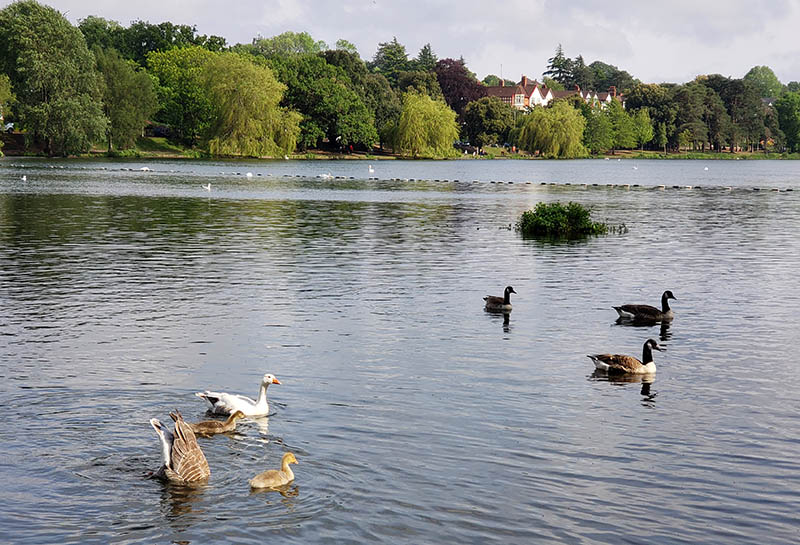 Aves no lago de Cardiff