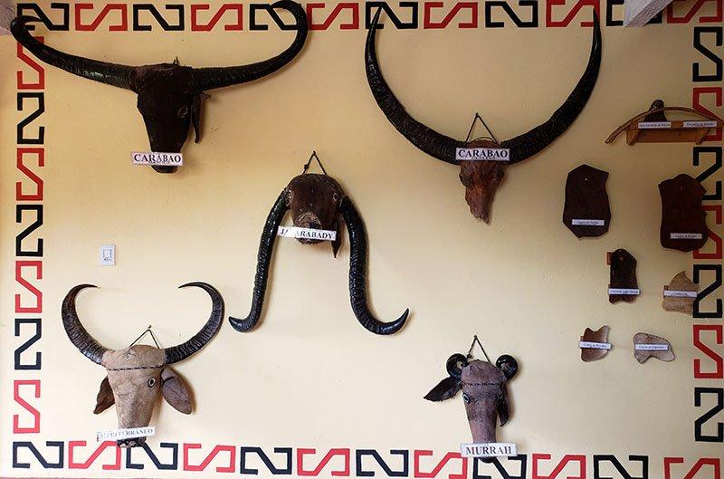 tipos de bufalo no marajo