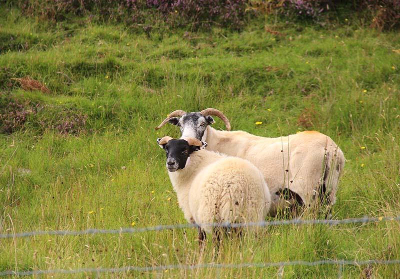 ovelhinhas cara preta escocia