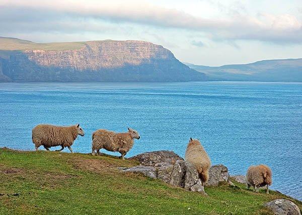 Ovelhas na Ilha de Skye