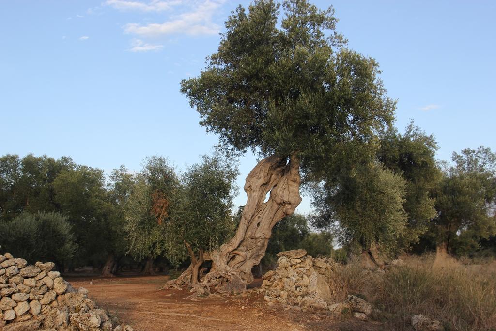 ... cercados por oliveiras centenárias