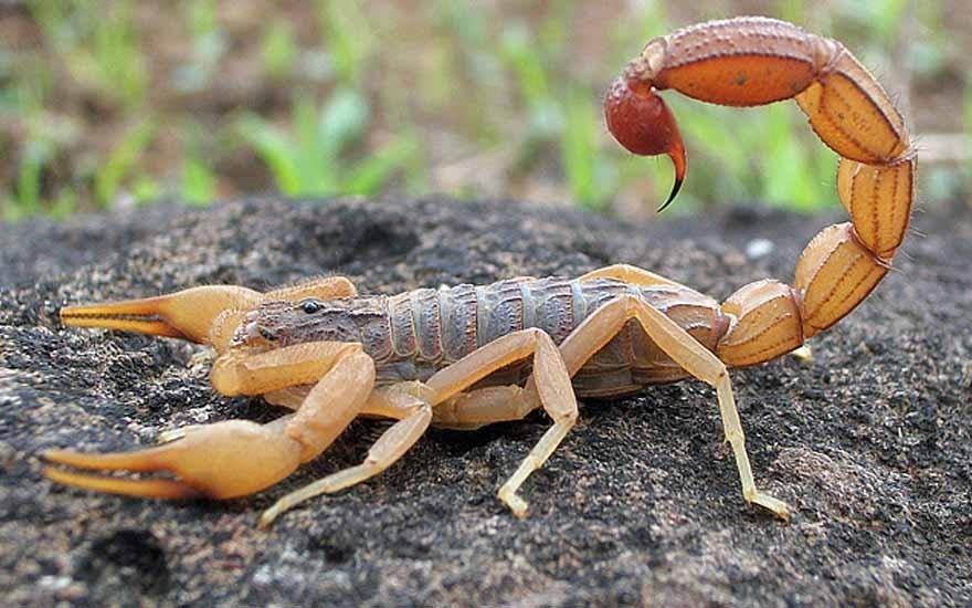 Você sabia que baratas e outros insetos atraem escorpiões?