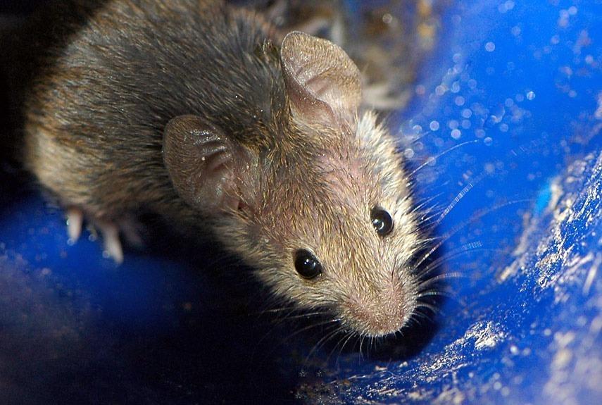 Tipos de ratos: você conhece todos?