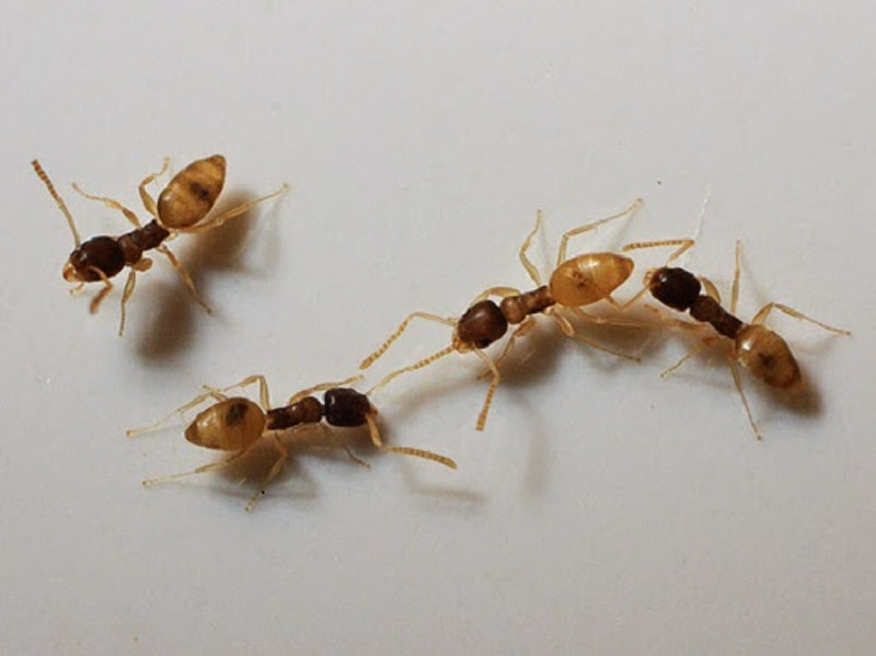 Como acabar com formigas doceiras