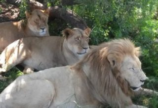 Safári no Lion Park e visita à Aldeia Lesedi Village: Roteiro de 1 dia