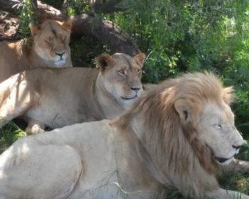 safari-lion-park-aldeia-lesedi-village-cultural-agencia-turismo