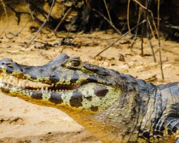 jacare-pantanal