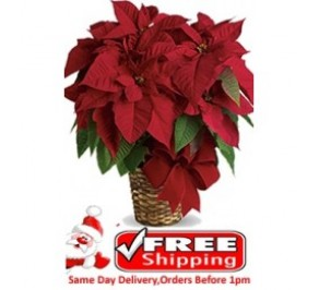 Red Poinsettia Plant