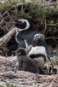 """Boulders Beach - a """"praia dos pinguins"""" em Cape Town. © Imagina na Viagem"""