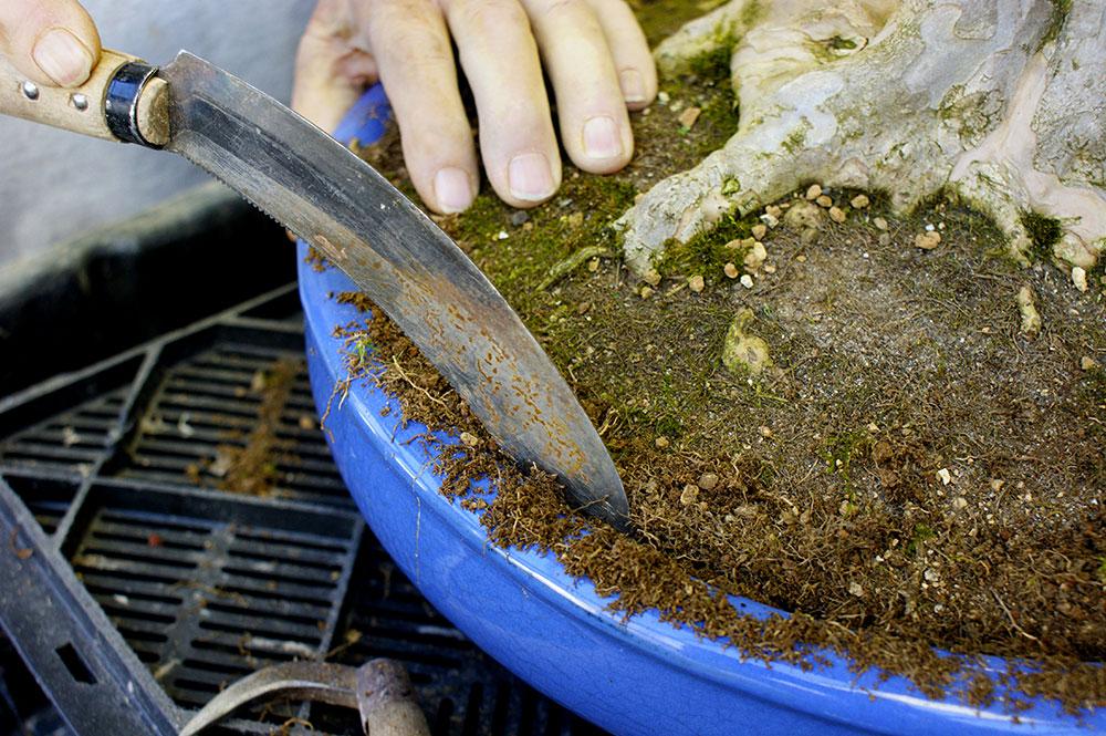 9 passos para a renovar o vaso do seu bonsai