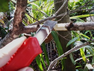 alporquia cortando a casca