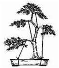 aramação do bonsai ancorada no vaso