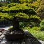 conicidade do bonsai bonsai em forma de cone