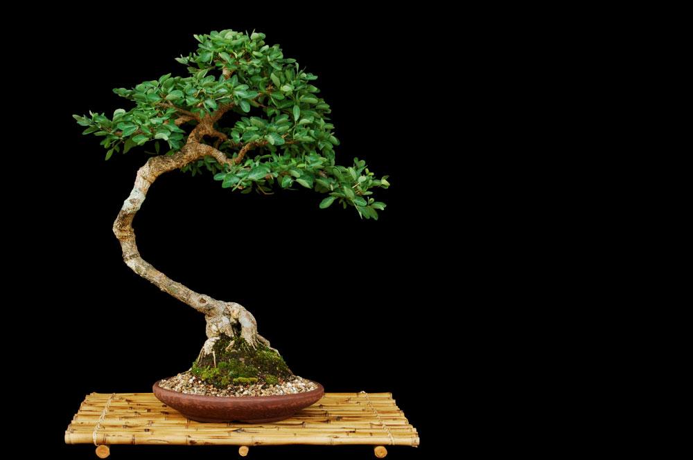 No es b sicas e m todos de cultivo do bonsai - Cultivo de bonsai ...