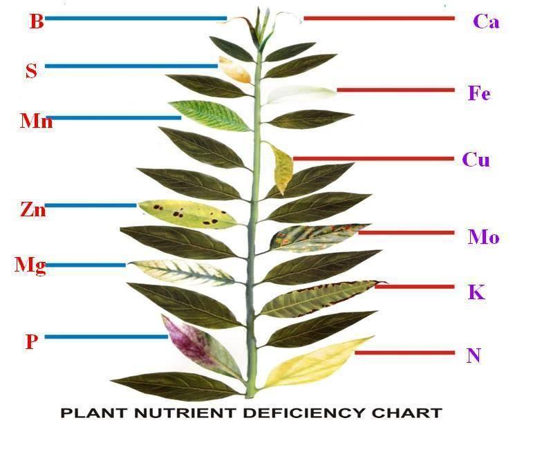 deficiência de nutrientes no bonsai