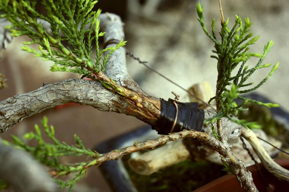 técnicas e cuidados com bonsai