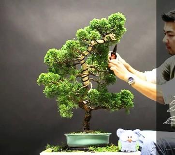 Bonsaísta reestiliza um juniperus usando PhotoShop 1