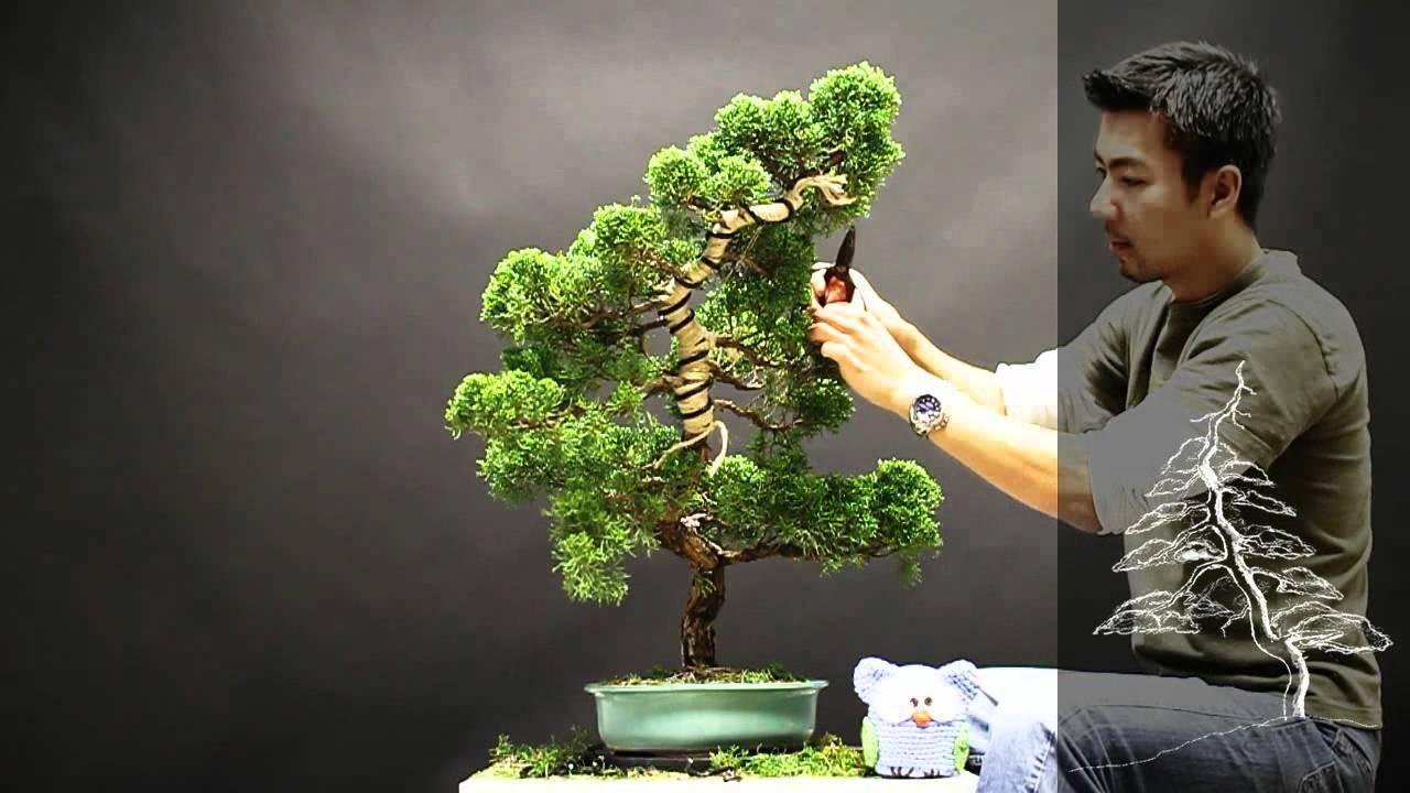 bonsaista redesenha um juniperus