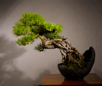Itoigawa bonsai
