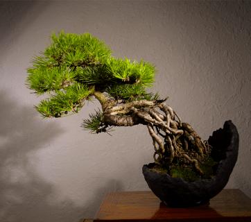 Itoigawa bonsai