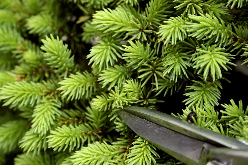 Como podar um bonsai
