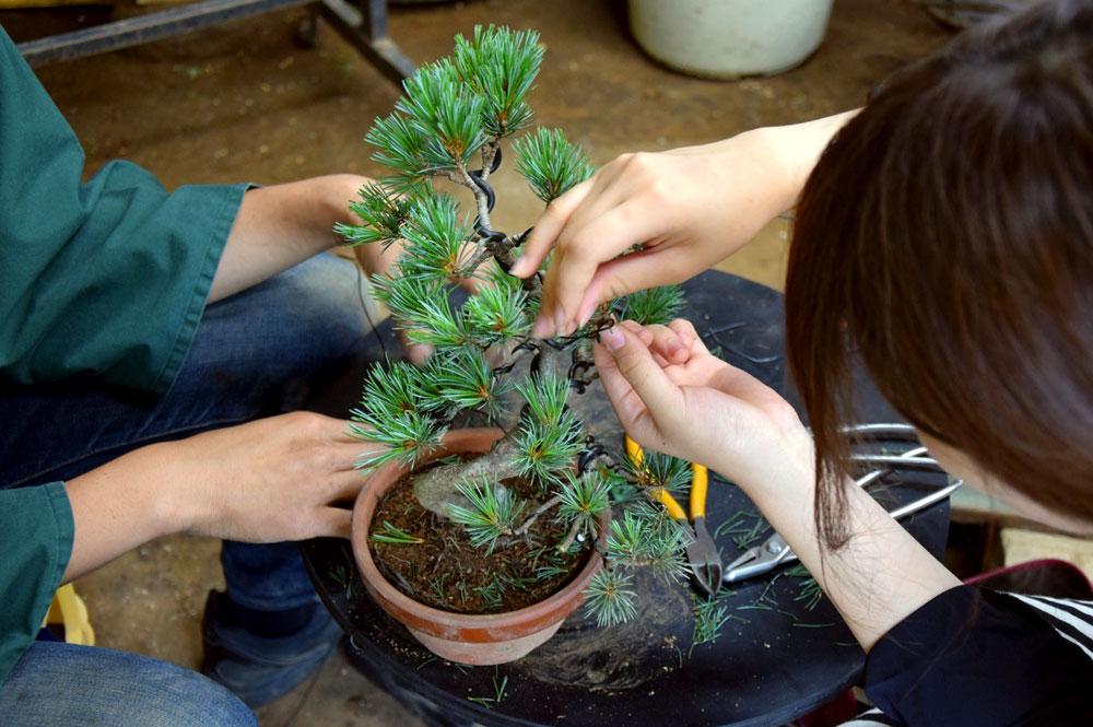 Guia como fazer um bonsai o bonsa sta for Como cultivar bonsais