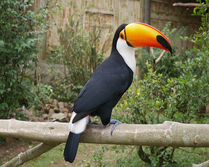 Tucano no aviário