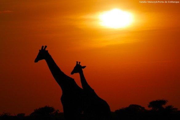 Girafas no Serengeti na Tanzania no nascer do Sol