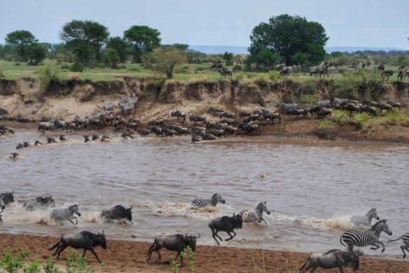 Migração dos animais na Tanzânia com zebras e gnus