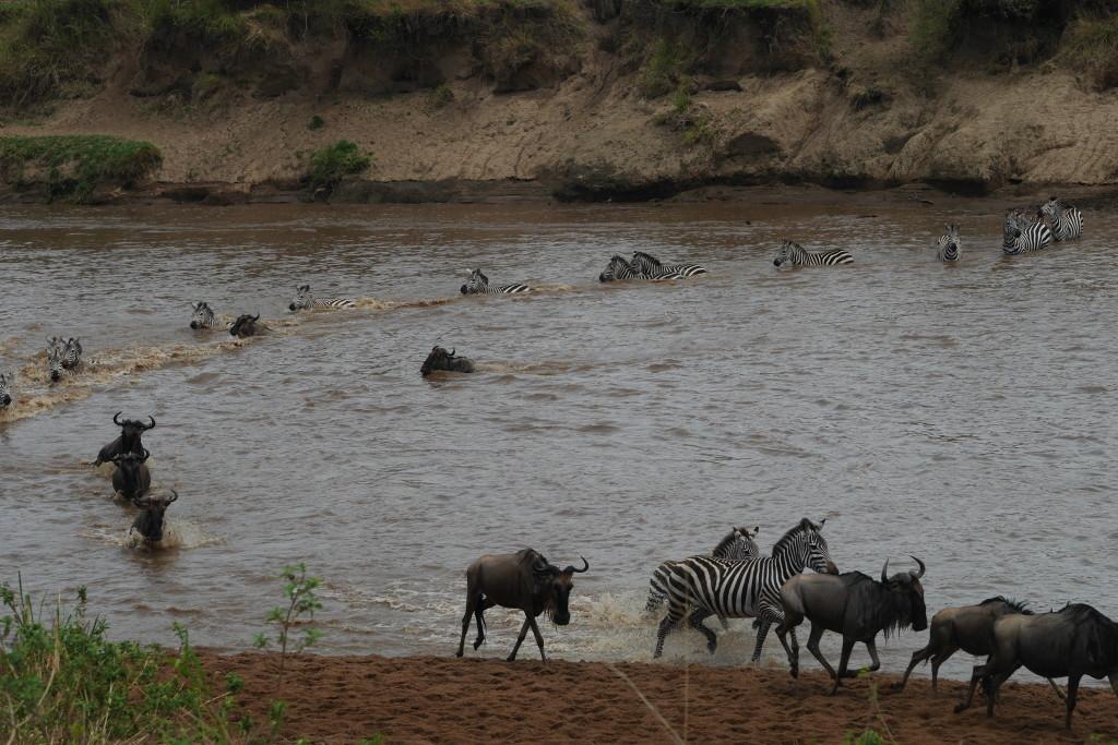 Travessia das zebras no Serengueti