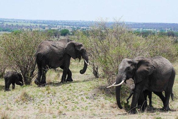 Elefantes no parque Serengueti, na Tanzania
