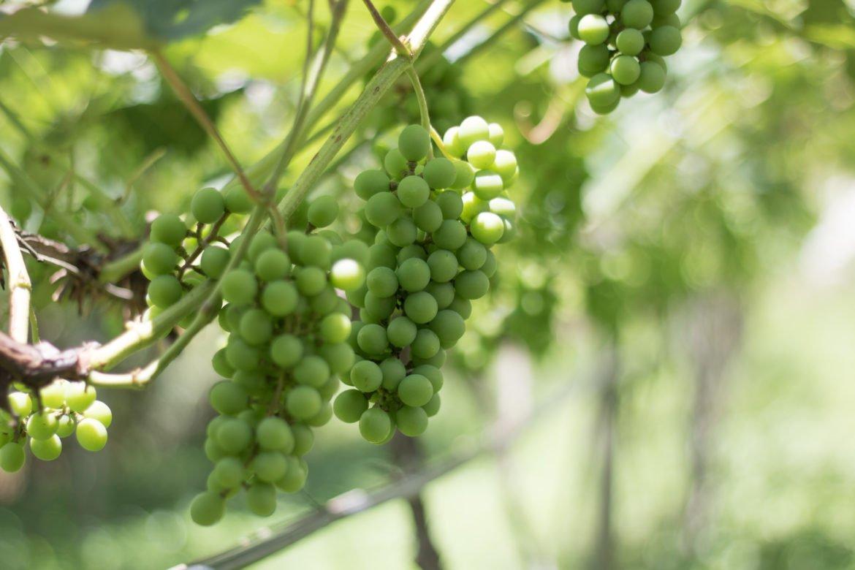 Rota da uva de Jundiaí: para provar muito vinho perto de São Paulo