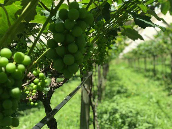 Rota da uva de Jundiaí Adega do Portugues 2 585x439 - Rota da uva de Jundiaí: para provar muito vinho perto de São Paulo