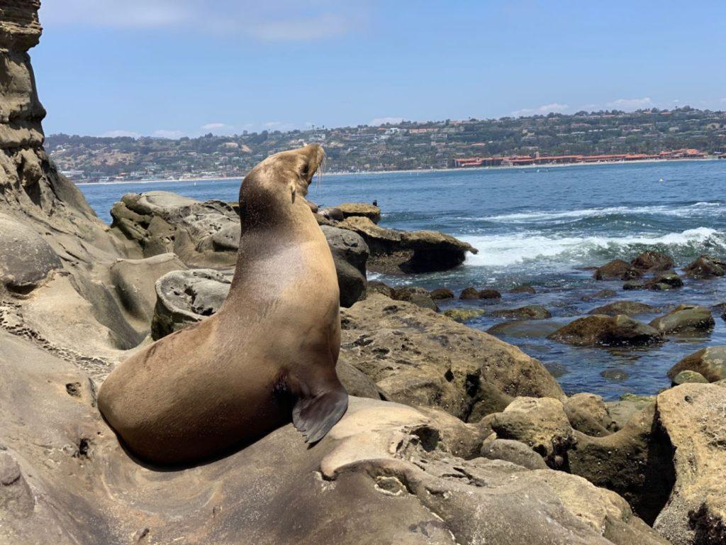 Leao marinho em La Jolla, perto de San Diego