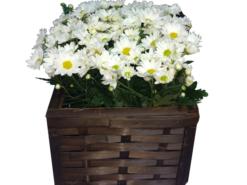 Margarida-branca-Floricultura-Rosas-e-Flores
