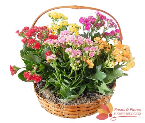Cesta de Kalanchoe Floricultura Rosas e Flores RJ