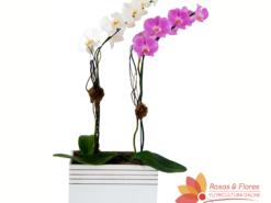 Dupla de Orquídea Phalaenopsis Floricultura Rosas e Flores RJ