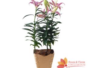Lírio Plantado Floricultura Rosas e Flores RJ