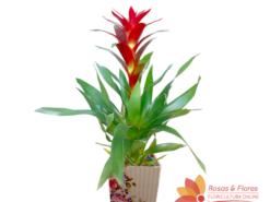Orquídea Bromélia