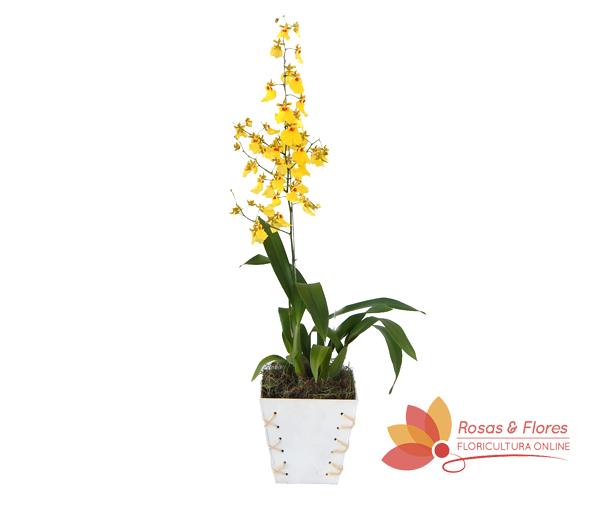 Orquídea Oncidium Chuva de Ouro Floricultura Rosas e Flores RJ