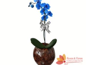 Orquídea Phalaenopsis Azul Floricultura Rosas e Flores RJ