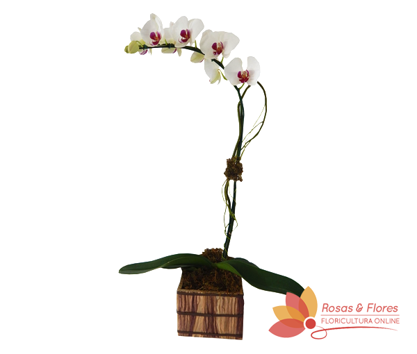Orquídea Phalaenopsis Semi Alba Floricultura Rosas e Flores RJ