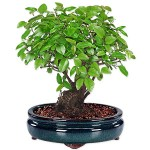 VFINT.ITA. Bonsai