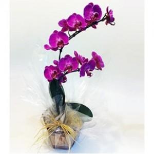 Orquidea Phaleanoplis GV