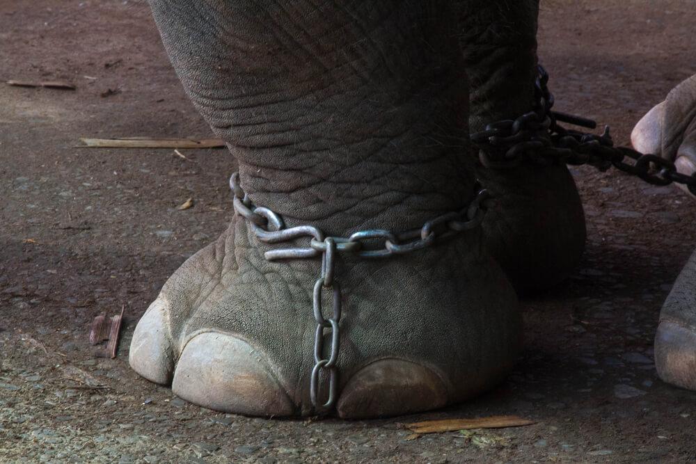 Elefante acorrentado em Phuket